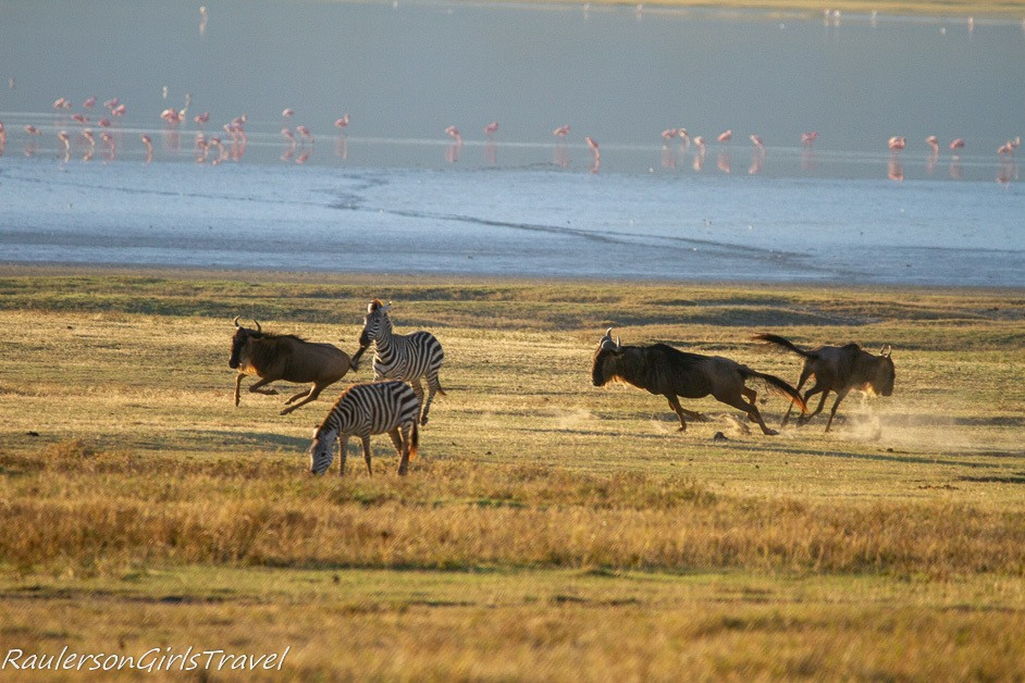 Wildebeests running around zebras
