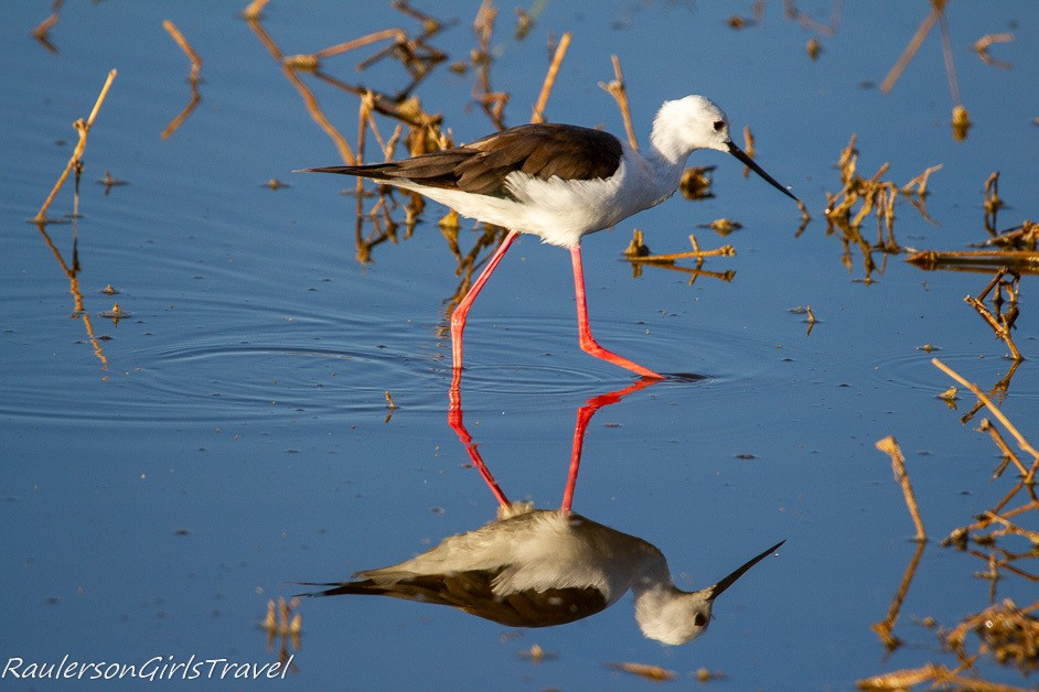Black-winged Stilts reflection in water