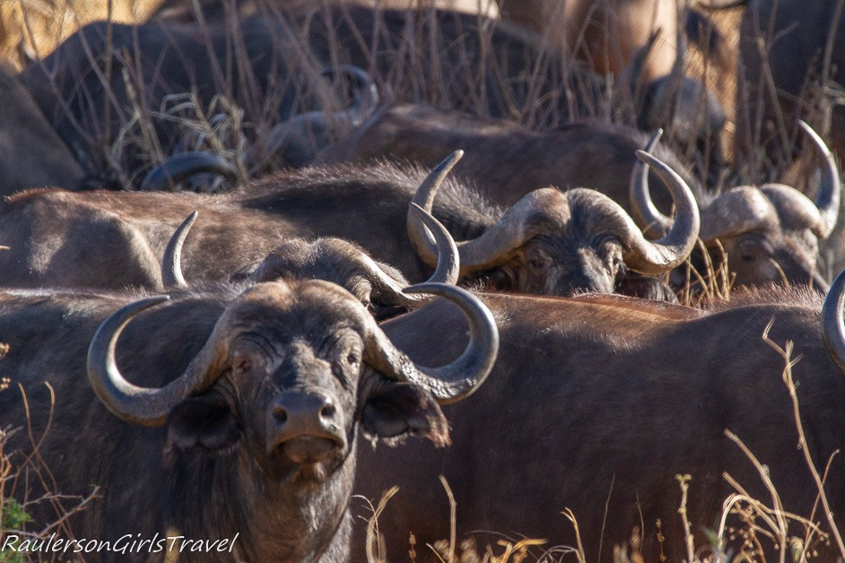 Herd of Buffalo in Tarangire National Park