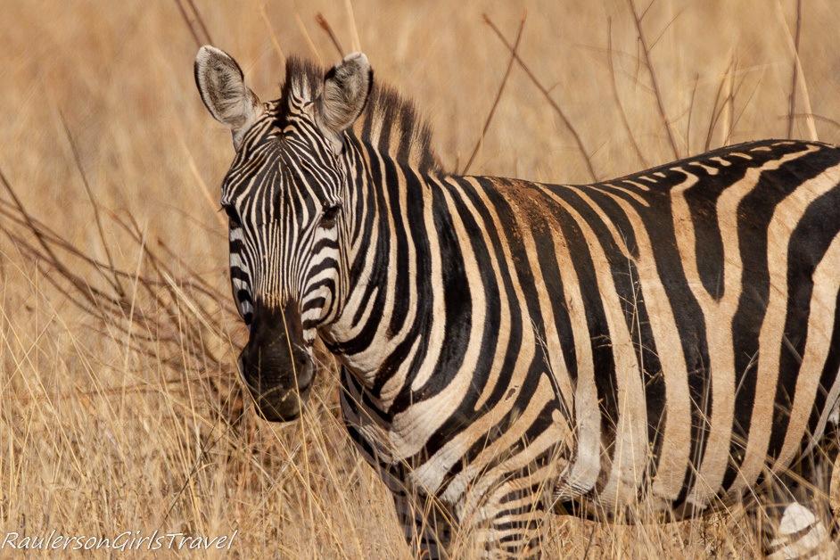 Single zebra looking at the camera