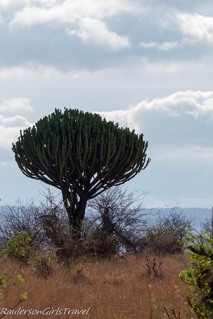 Dragon Blood Tree in Tarangire National Park