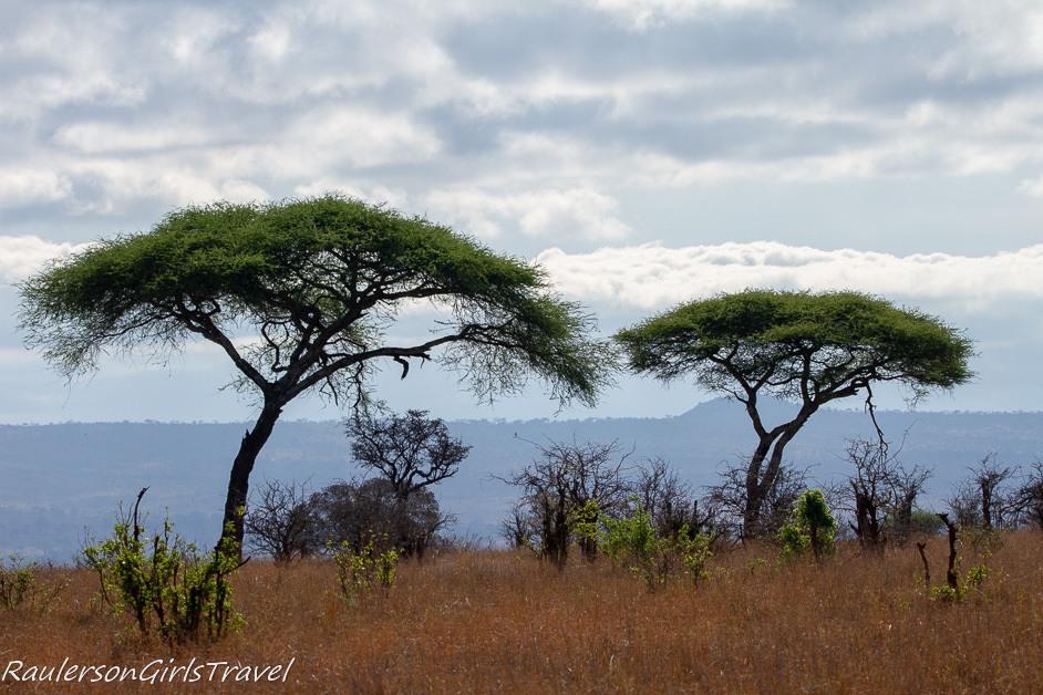 Acacia Tree in Tarangire National Park