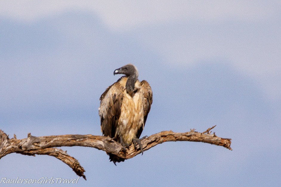 Vulture sitting on a branch