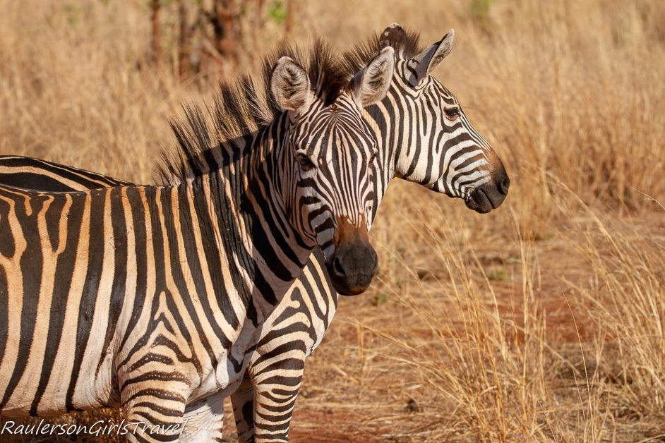 a couple of zebras