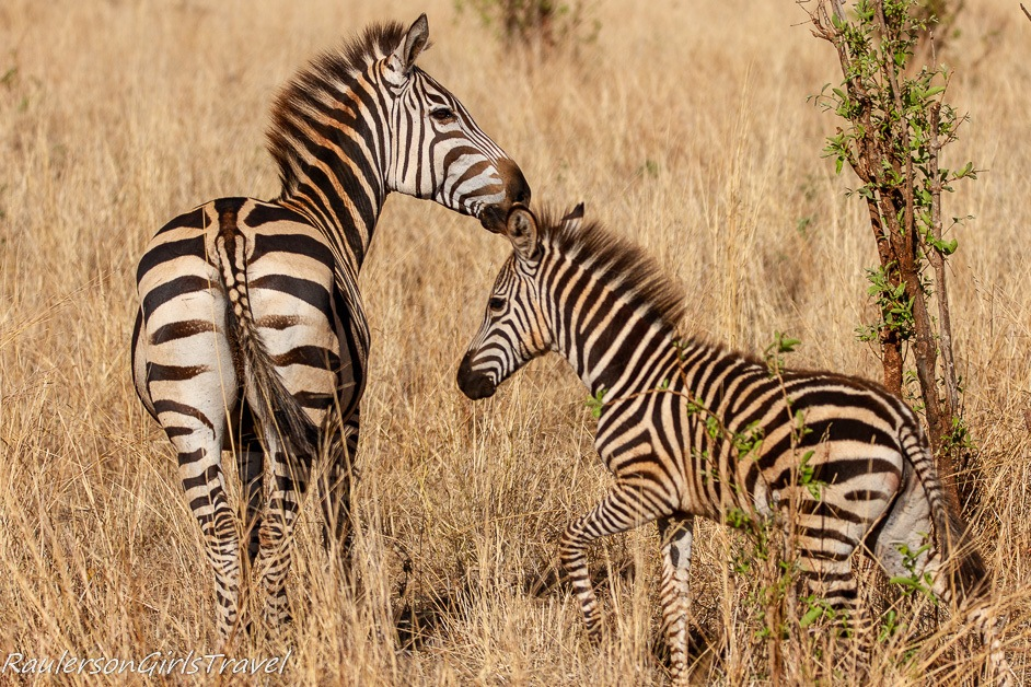 Mother and child zebra nuzzling