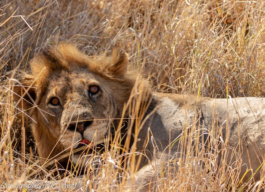 Lion relaxing after over eating