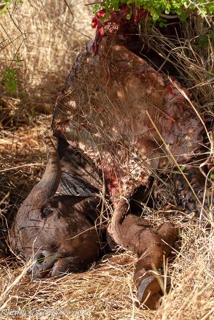Half eaten Wildebeest