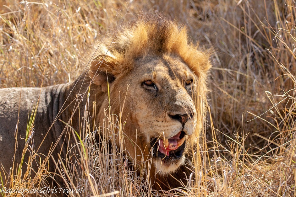 Male lion after eating Wildebeest