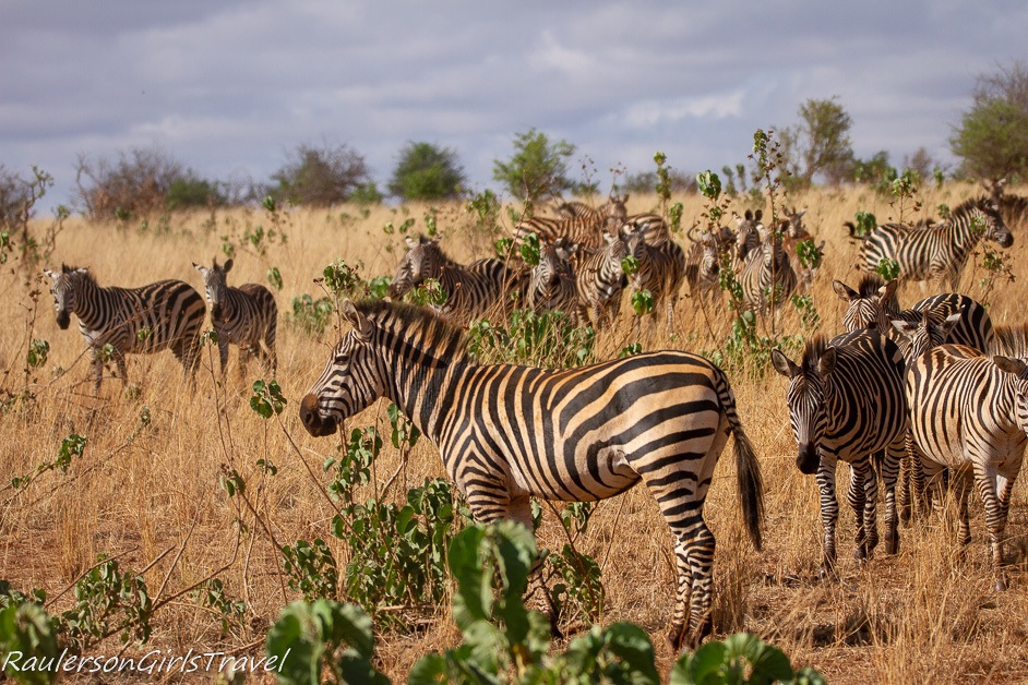 Zebra herd in Tarangire National Park
