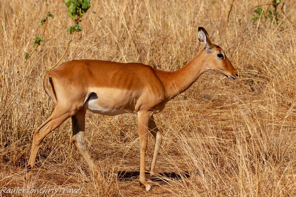 Impala in Tarangire