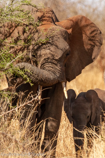 Mother elephant eating with baby