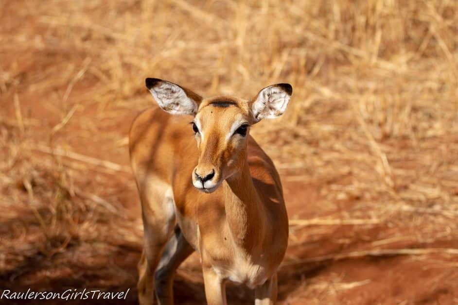 Impala resting in Tarangire National Park