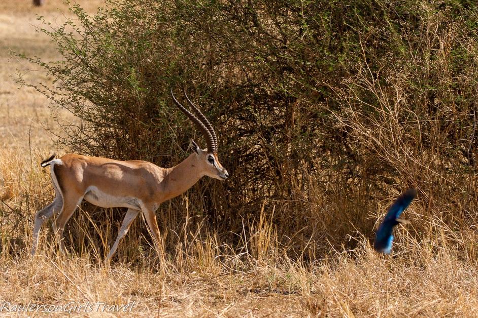 Gazelle scares bird