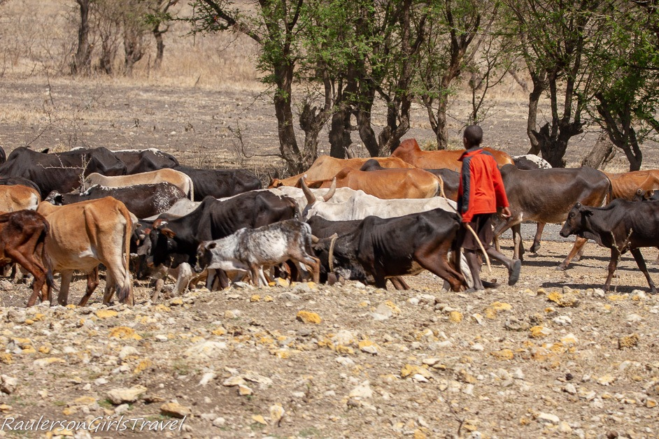 Maasai child watching cattle