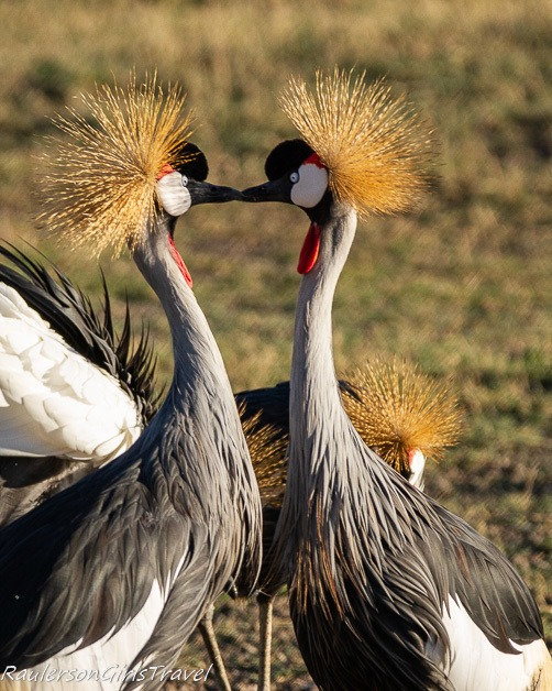 Gray-crowned Cranes kissing