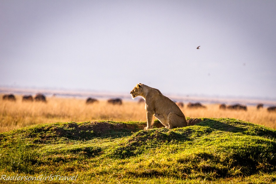 Lioness checking out the land