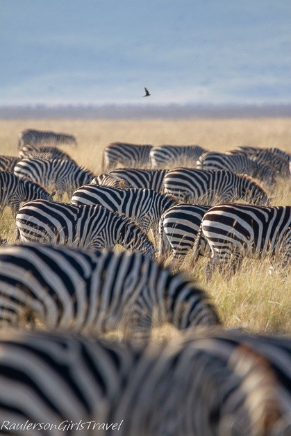 Side view of a herd of zebras