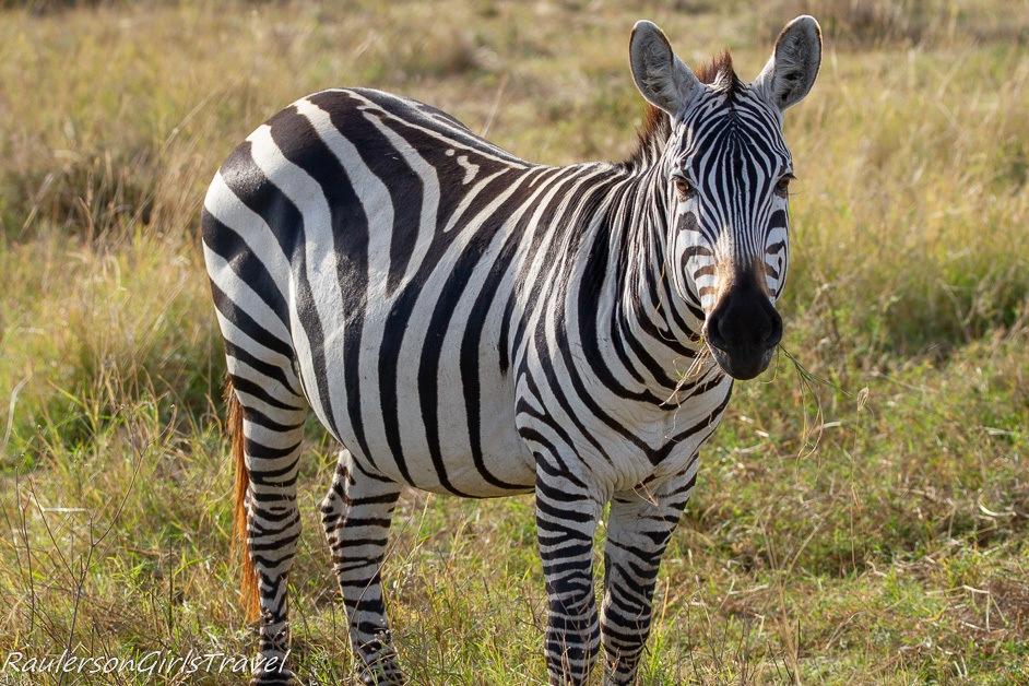 Pregnant zebra