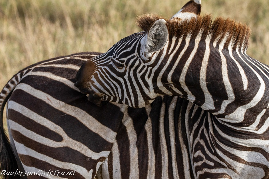 Zebra biting itself