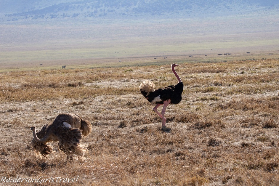 Two Male ostriches competing for a female