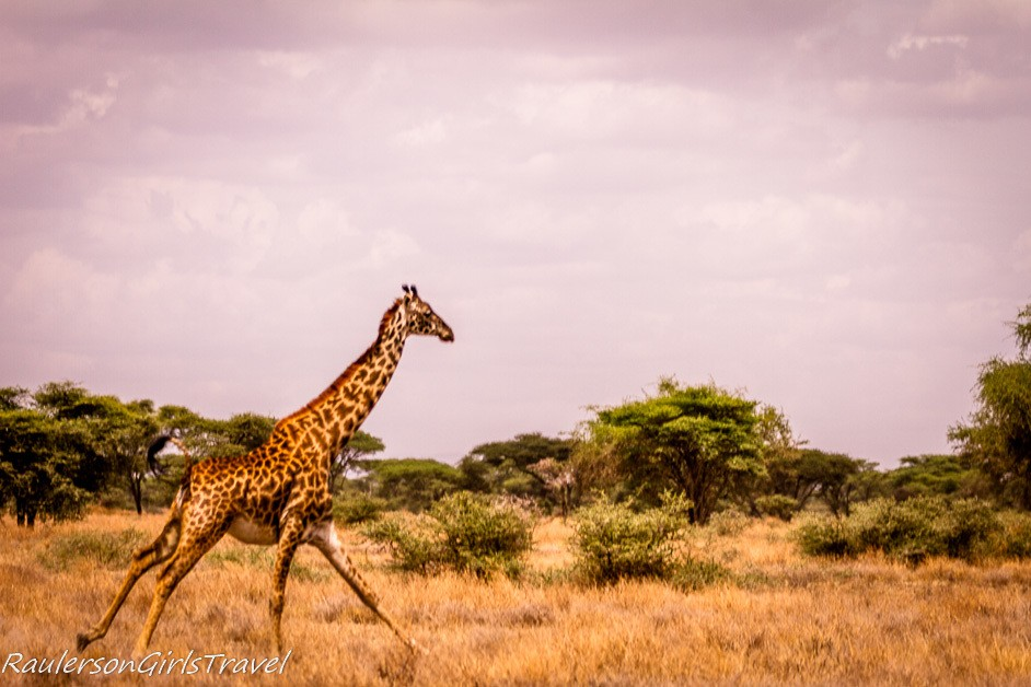 Giraffe running through the grass