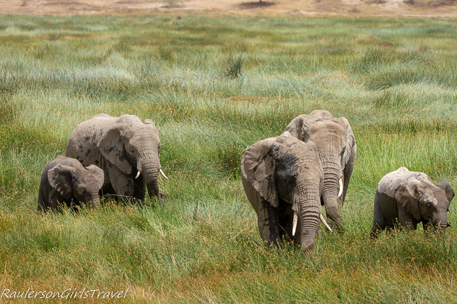 Family of elephants in tall grass