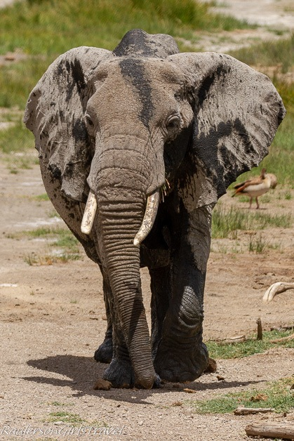 Elder elephant walking toward camera