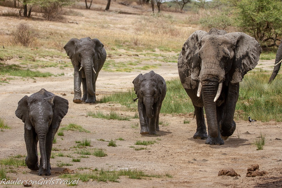 Family of Elephants walking toward camera