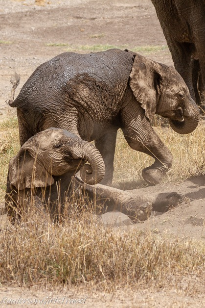 Elephants rolling in the dirt 4