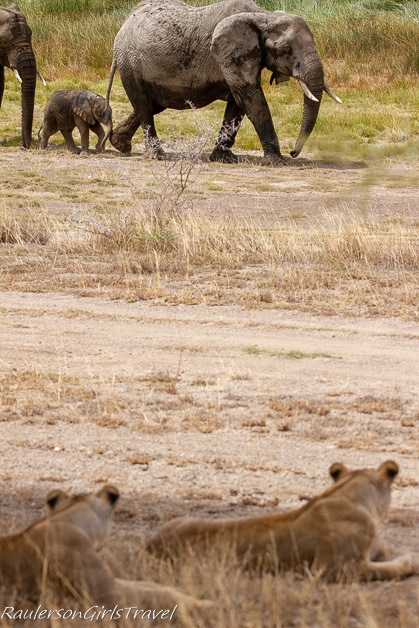Lions watching elephants walking by