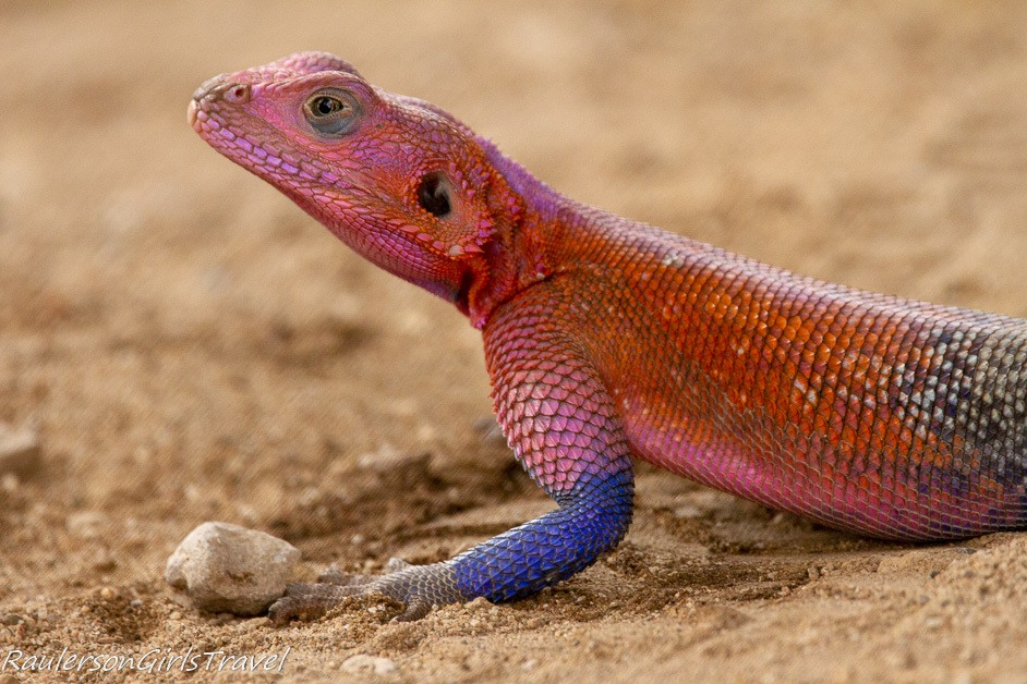 Close-up of Mwanza Flat-headed rock Agama