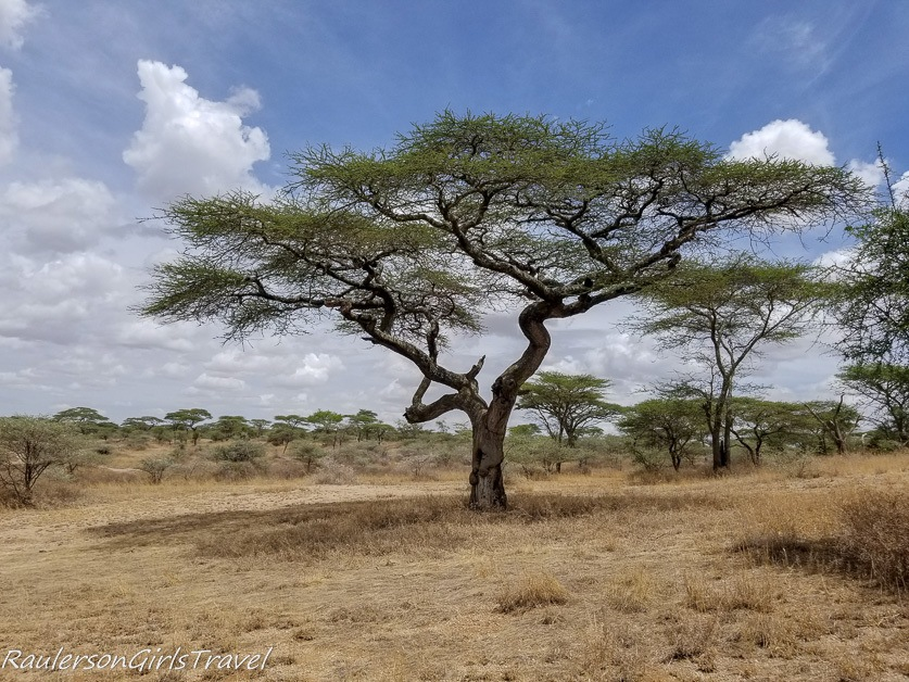 Crooked tree in Ngorongoro Conservation Area