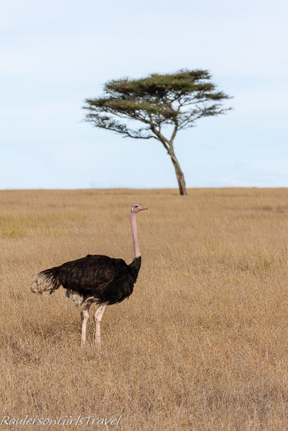 Ostrich with lone acacia tree