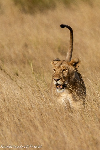 Lioness walking with tail up