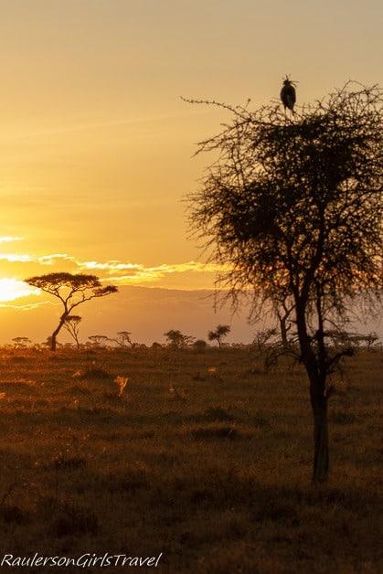 Serengeti Sunrise with Secretary Bird sitting on top an Acacia tree