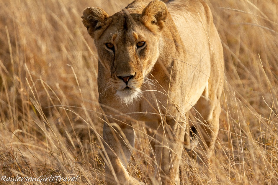 Lioness moving 2