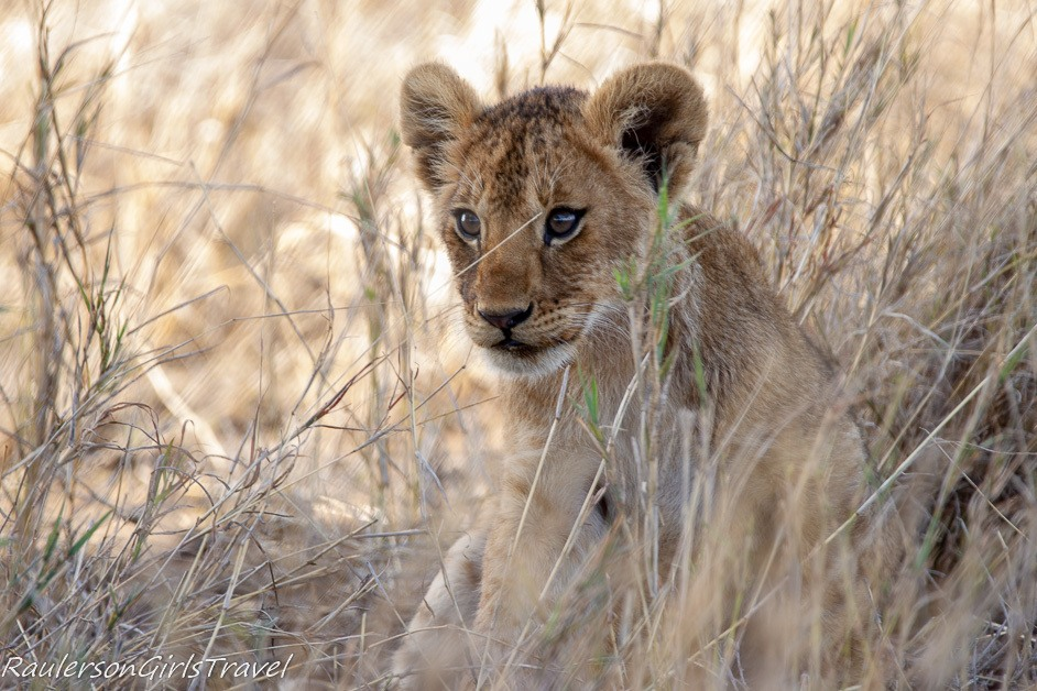 Lion cub peeking out of the tall grass