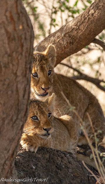 Two lion cubs by a tree