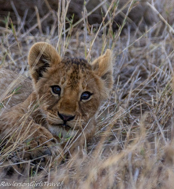 Lion cub laying in the tall grass