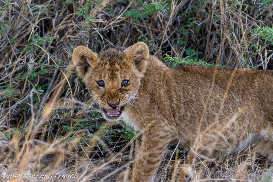 Lion cub not happy with the intrusion