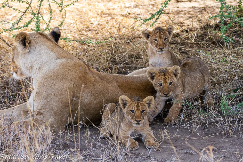 Lioness with with three cubs