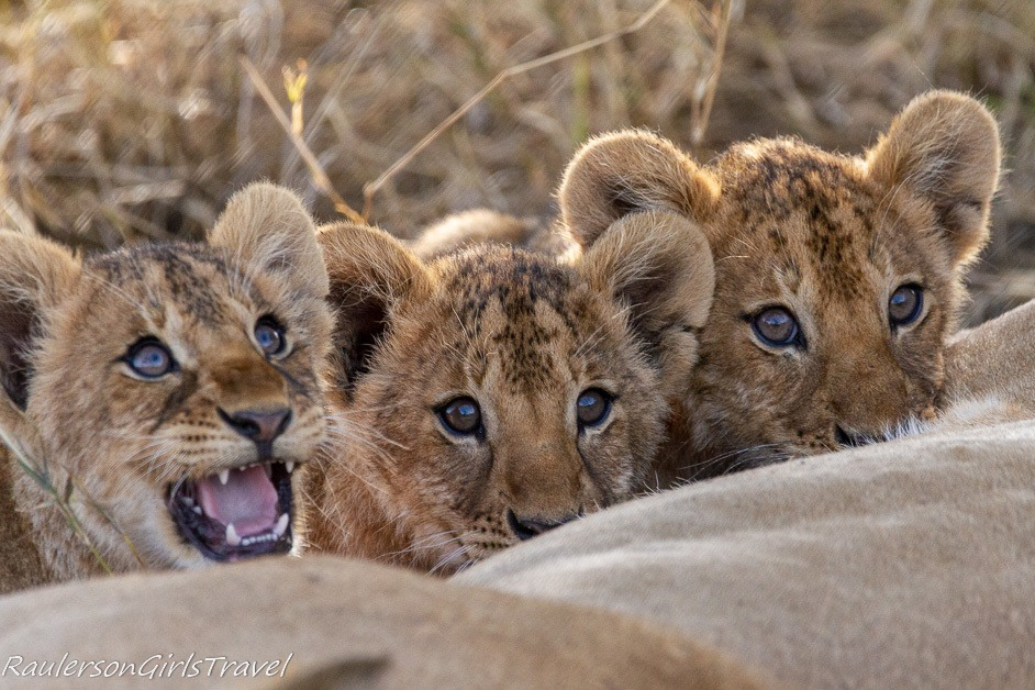 Lion cubs nursing