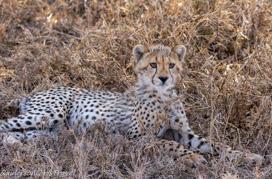 Cheetah cub laying in the grass