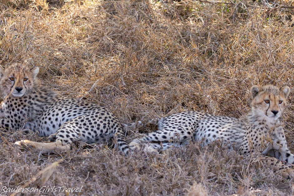 Two cheetah cubs resting