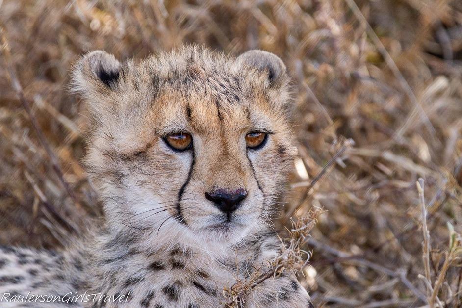 Cheetah cub face close up