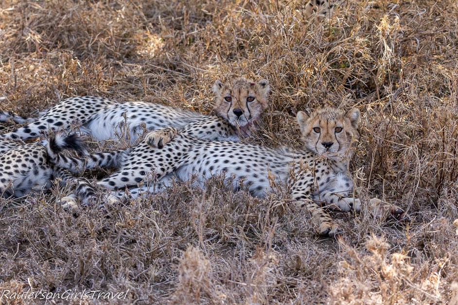 two cheetah cubs resting on each other
