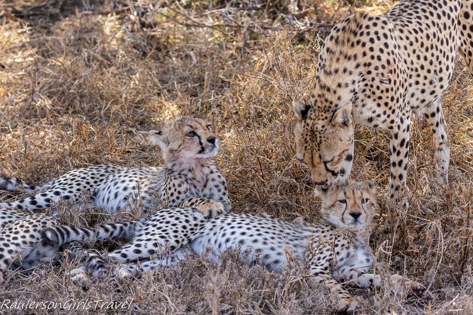 Cheetah mom checking on her cubs
