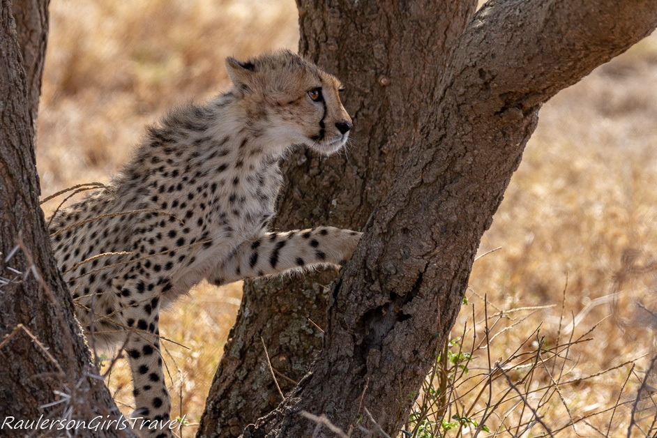 Cheetah cub deciding to climb the tree