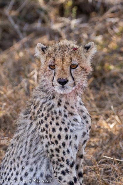 Cheetah cub hurt