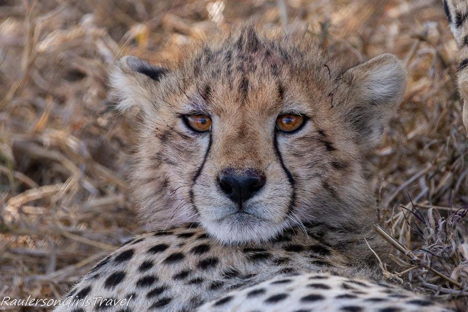 Close up of cheetah cub face